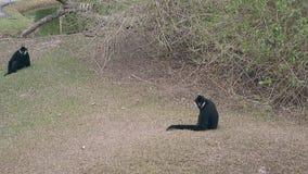 Czarni makaki ignorują zrzuconego karmowego obsiadanie przeciw trawie zdjęcie wideo