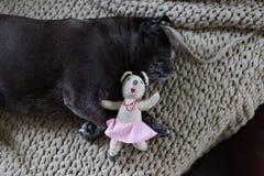 Czarni mopsów kwacze wymieniali Adelheid dosypianie na kanapie przy popołudniem z fotografia royalty free
