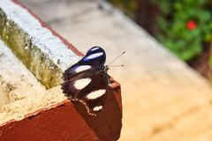 Czarni motyle latają światłem słonecznym i wiatrem zdjęcie stock