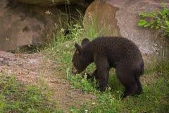 Czarni Niedźwiadkowego lisiątka Ursus americanus spacery Zbliżają melinę Zdjęcie Royalty Free