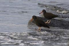 Czarni oystercatchers Zdjęcie Royalty Free