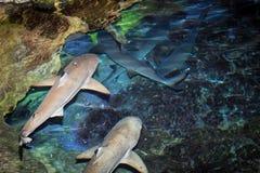 Czarni porada rekiny zdjęcia stock