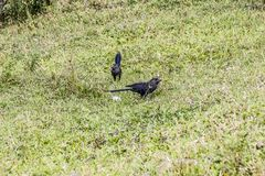 Czarni ptaki na zielonym gazonie fotografia stock