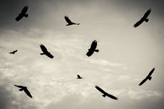 Czarni ptaki w chmurnym niebie, bagno błotniak, ptak zdobycz obrazy stock