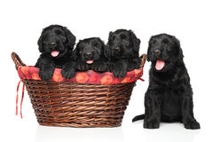 Czarni Rosyjscy terierów szczeniaki Zdjęcia Royalty Free