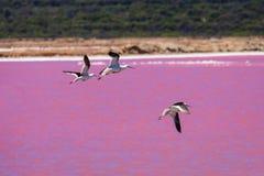 Czarni skrzydłowi stilts ptaki przy Różowym jeziorem w zachodniej australii zdjęcia royalty free