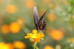 Czarni Swallowtail nektary na żółtych kosmosach obraz royalty free