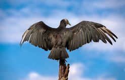 Czarni Vulturewith skrzydła szeroko rozpościerać przeciw chmurom i niebu fotografia royalty free