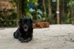 Czarni włosy psi relaksować na białym piasku Obrazy Royalty Free