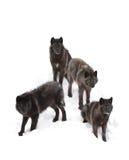 Czarni wilki w białym śnieżnym tle Zdjęcia Stock