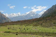 Czarni yaks je trawy na łące Obraz Stock