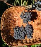 Czarni zgod winogrona zbiera w łozinowego kosz z Zdjęcie Royalty Free