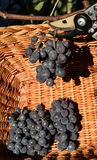 Czarni zgod winogrona zbiera w łozinowego kosz z Fotografia Stock