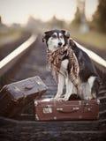 Czarno biały pies siedzi na walizce na poręczach Zdjęcia Royalty Free