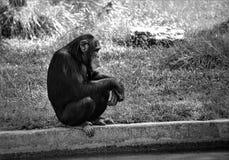Czarno biały Przysiadły szympans Zdjęcia Royalty Free