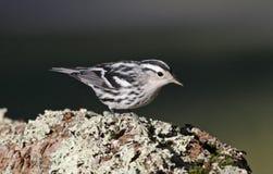 Czarno biały Warbler Zdjęcia Stock