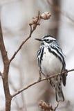 Czarno biały Warbler Fotografia Royalty Free