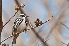 Czarno biały Warbler Fotografia Stock