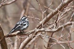 Czarno biały Warbler Obrazy Stock