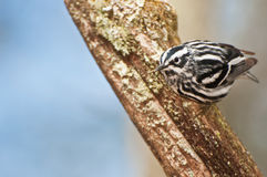 Czarno biały Warbler Obraz Stock