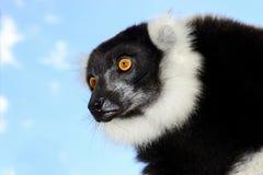 Czarno biały ruffed lemur Zdjęcia Stock