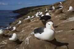 Czarnobrewi albatrosa Thalassarche melanophrys Obrazy Royalty Free