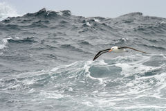 Czarnobrewy albatros fotografia royalty free