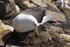 Czarnobrewy albatros siedzi na jego gniazdeczku i chwyta brud z jego belfrem wzmacniać gniazdeczko na Saunders wyspie, Falkland w zdjęcia stock