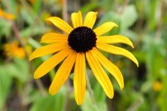 Czarnookiego Susan kwiat obrazy royalty free