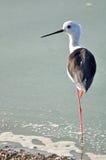 Czarnoskrzydłego Stilt ptaka stojak z jeden nogą Obraz Royalty Free
