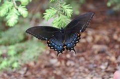 Czarnoskrzydły swallowtail motyl na sosnowym konarze fotografia royalty free