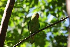 Czarnoskrzydły lovebird Agapornis tarant Obrazy Royalty Free