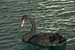 czarny łabędź Zdjęcie Royalty Free