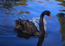 Czarny łabędź fotografia stock