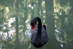 Czarny łabędź Obrazy Royalty Free