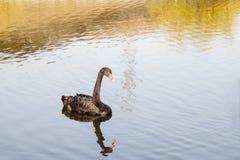 czarny łabędź atratus cygnus Fotografia Stock
