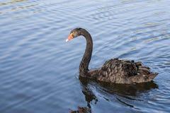 czarny łabędź atratus cygnus Zdjęcie Stock