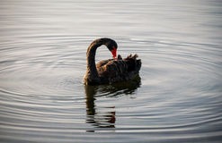 Czarny łabędź i wodne fala Zdjęcia Royalty Free