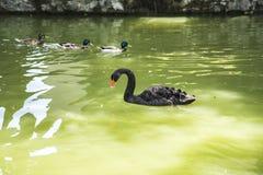 Czarny łabędź jest wielkim waterbird, gatunki łabędź Obraz Royalty Free