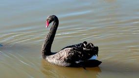 Czarny Łabędź jezioro Zdjęcie Royalty Free