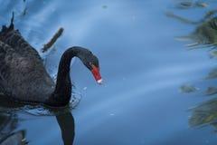 Czarny łabędź na jeziorze Zdjęcie Stock