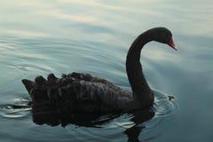 Czarny łabędź na jeziorze zdjęcia royalty free