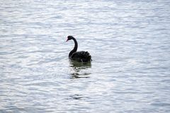 czarny łabędź opływa Fotografia Stock