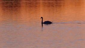 Czarny łabędź pływa w złotym wieczór słońcu na jeziorze zdjęcie stock