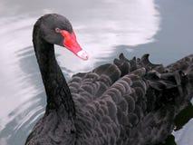 czarny łabędź portret fotografia stock