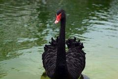 Czarny łabędź przy jeziorem zdjęcia stock