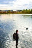 Czarny łabędź w jeziorze Fotografia Royalty Free