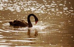 Czarny łabędź w parku (Cygnus atratus) Zdjęcie Stock