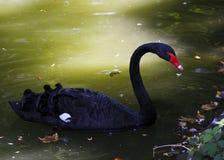 Czarny łabędź w wodzie Duzi piękni ptaki Obrazy Royalty Free