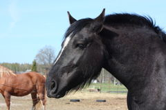 Czarny łyknięcia konia portret Fotografia Royalty Free